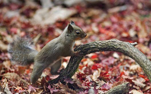 800px-Japanese_Squirrel_edited_version[1]