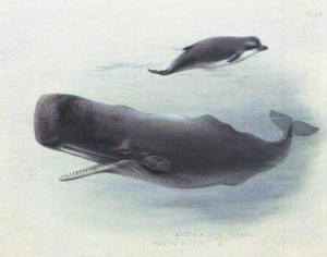 Sperm_whale_and_Bottlenose_whale